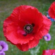 Papaver rhoeas Red Poppy Bulk Wildflower Seeds plants fragrant