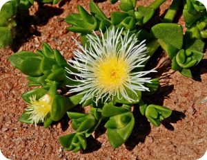 Bloeiende Kanna plant