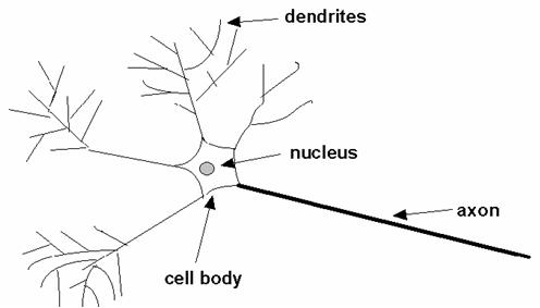 swpm-structure-of-biological-neuron