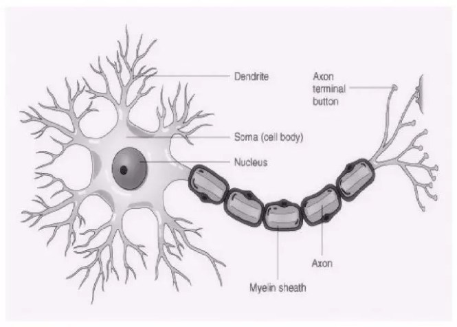 Cell body of a motor neuron