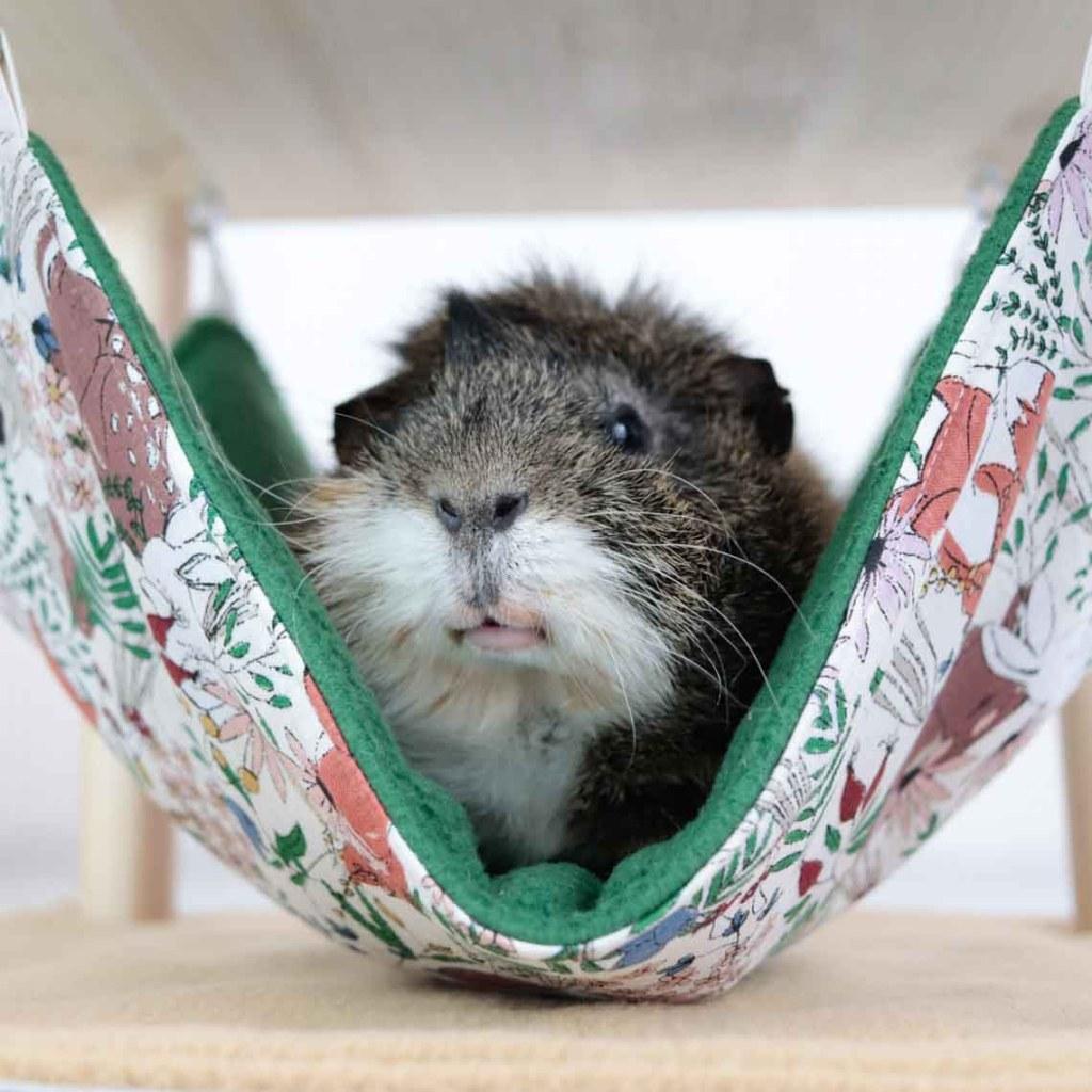 Produkttester Meerschwein Dexter in Hängematte