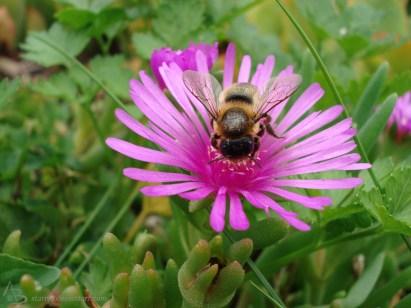 Hummel auf einer rosa Blume