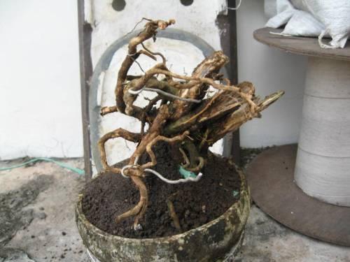 Cara membuat bonsai 1