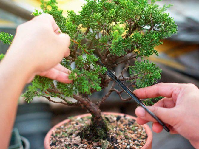 merawat bonsai