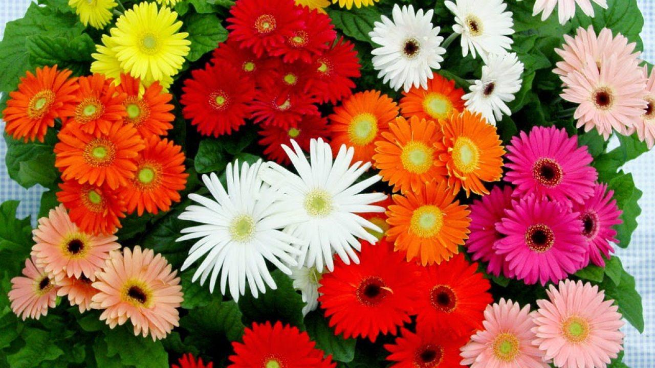 Bunga-Aster-