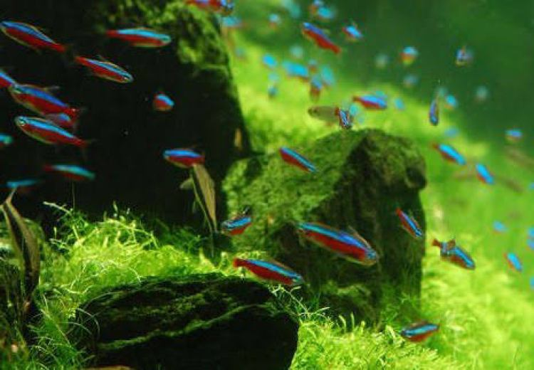 Memasukkan Ikan Hias