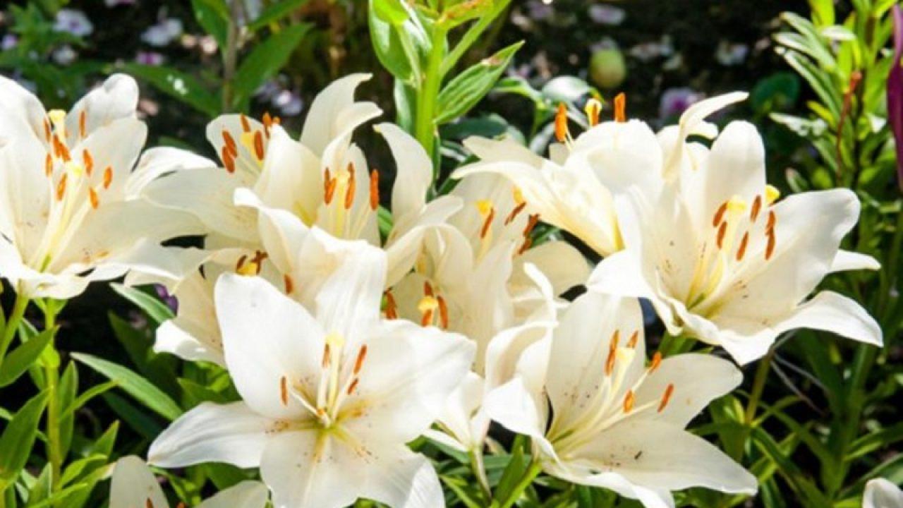 bunga-lili