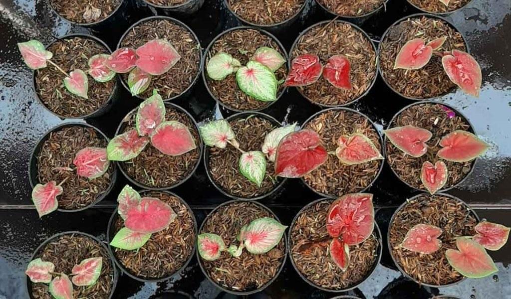 bibit-bunga-keladi
