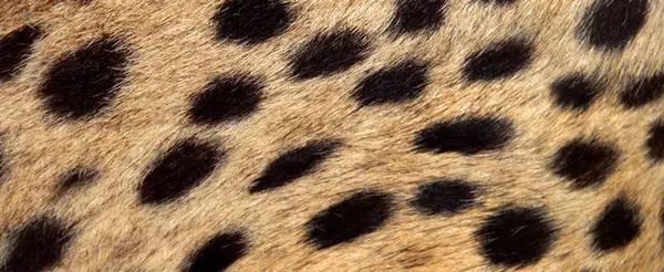 corak cheetah