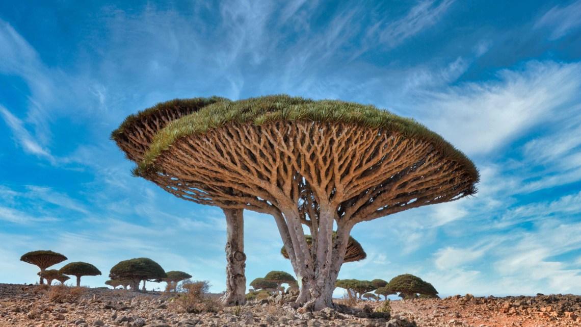 pohon-darah-naga