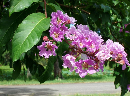 pohon-bungur