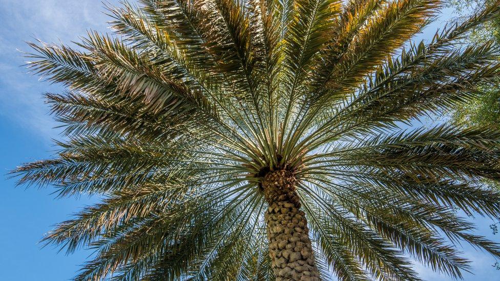 pohon-kurma