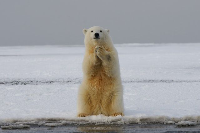 hewan-beruang