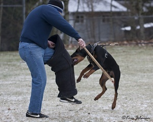 Krimson Dobermans in training
