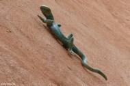 Roussillon VI_Lizard