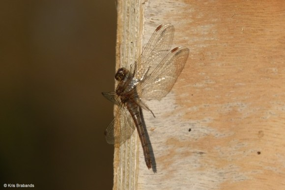 Dragon Fly spotted in late Fall