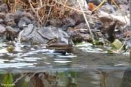 Frog Prince III