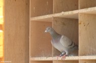 Pigeon in Dovecote