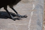 Paws of a Jackdaw