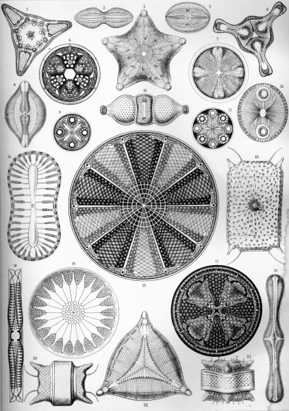 Diatomea - Print by Ernst Haeckel, Art Forms of Nature, 1904