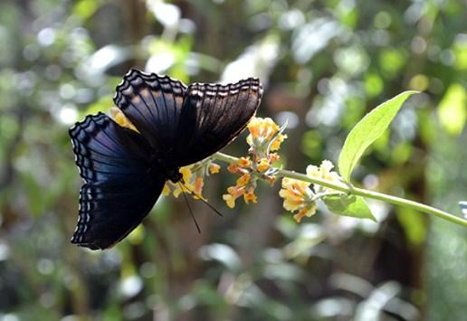 Butterfly 11B