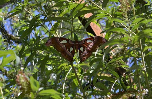 Butterfly 13B