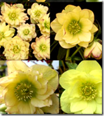 Golden lotus flower