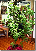 [The tulasi plant]