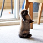 Rabbit standing on back legs to look at dining chair