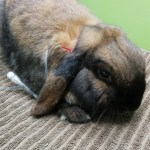 Rabbit with IV in ear