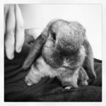 Black and white photo of rabbit on lap