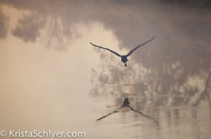 A great blue heron flying above the Anacostia River.