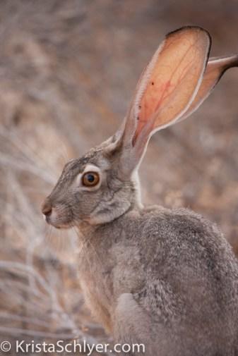 25b. Jackrabbit in the Sonoran Desert.
