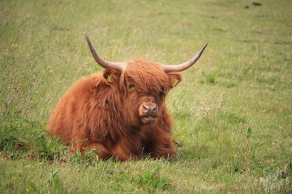 Handsome Hairy Coo