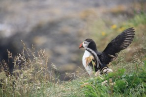 Isle of Staffa: Puffins