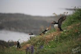 Isle of Staffa: Puffins