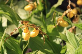 Edinburgh Botanical Garden: Yellow Orchids