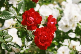 Deering Oaks Rose Circle: Red Cluster