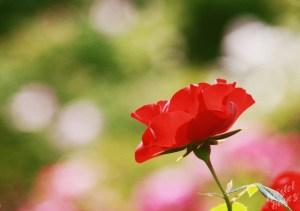 Deering Oaks Rose Circle: Red Silhouette