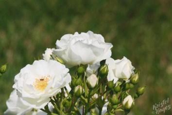 Deering Oaks Rose Circle: White Cluster