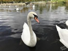 Curious Carlow Swans-Barrow River, Ireland