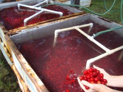 Bins of harvested 'Montmorency' cherries on a cooling pad