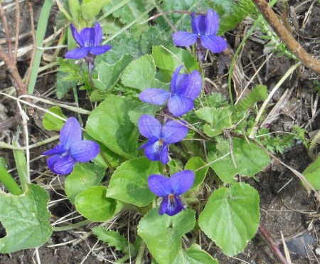 wood violets in bloom