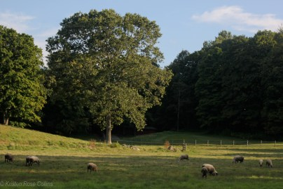 Sheep on the road to Kittatinny Valley State Park