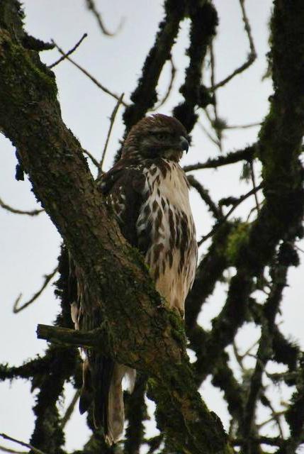 Ridgefield hawk