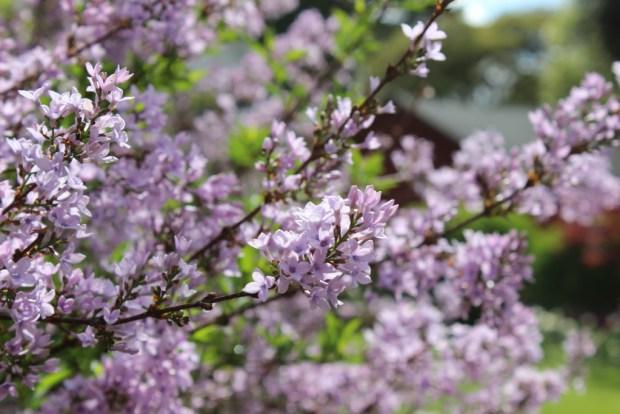 lilac purple branch