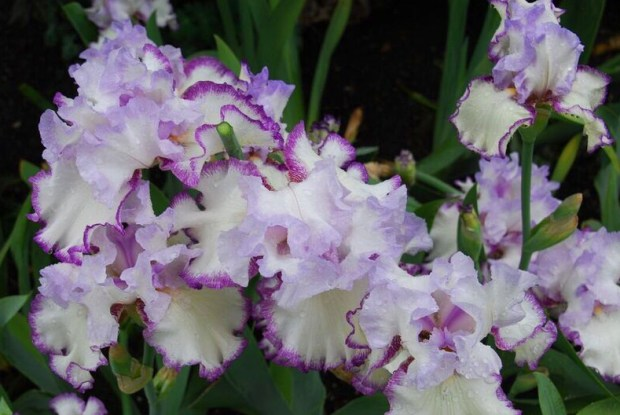 Iris garden purple white bunch