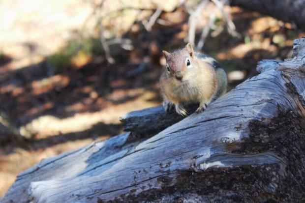 Wallowa Chipmunk