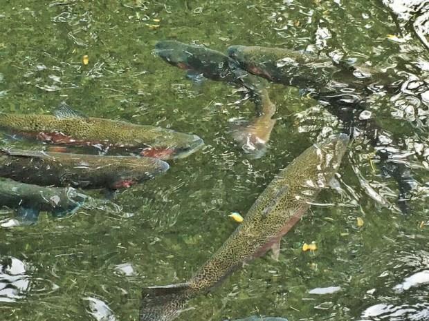 Bonneville Hatchery trout
