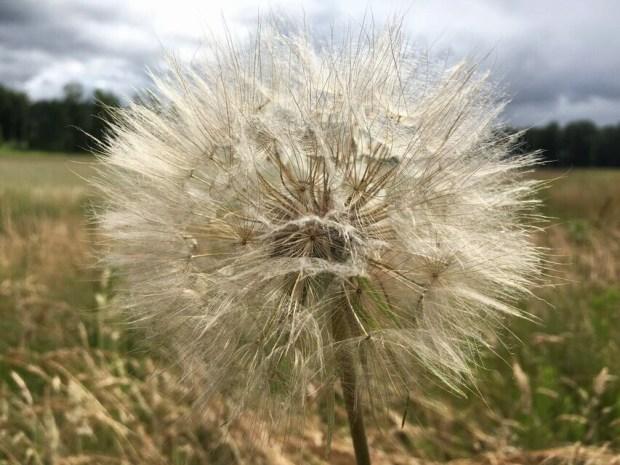 Steigerwald seed puff